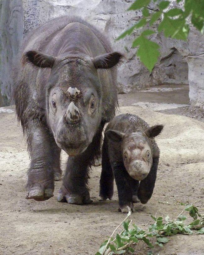 Самка суматранского носорога з малюком.