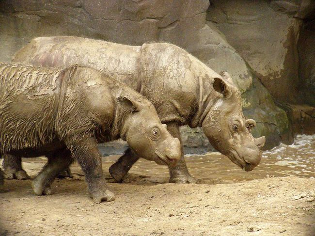 Пара суматранских носорогів: самець і самка.