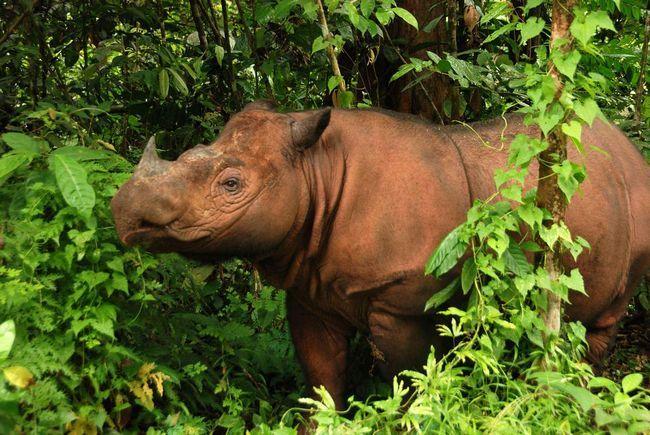 Суматранскіе носороги занесені в Червону книгу як зникаючий і рідкісний вид.