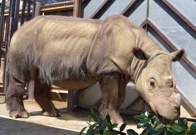 Суматранський носоріг в зоопарку.