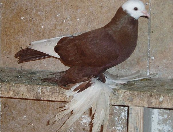 Супер льотні іранські бійні голуби