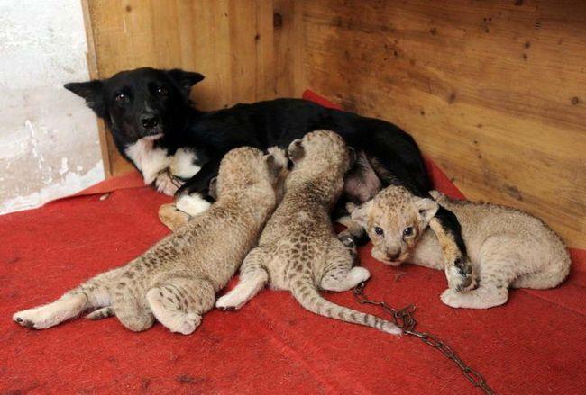 Троє левенят харчуються молоком своєї прийомної матері в сафарі-парку в Хефей, східно-китайської провінції Аньхой. Собака усиновила новонароджених хижаків, після того як від малюків відмовилася власна мама.