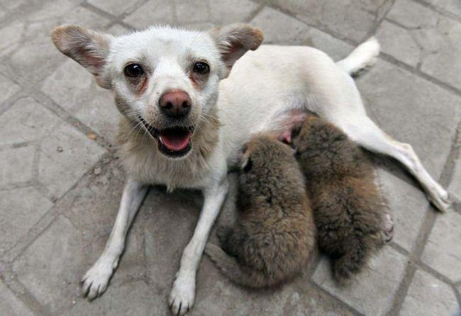 Дитинчата панди взяли другу маму і ростуть на собачому молоці