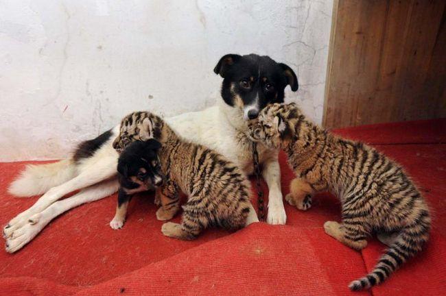 Два тигреня в компанії зі своїм собачим «братом» притискаються до своєї прийомної матері, після того як досхочу напилися її молока.