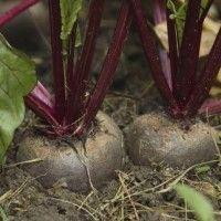 Буряк столовий вирощування