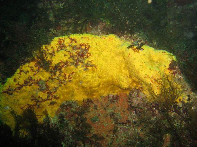 Морські губки сімейства Clionidae - справжні