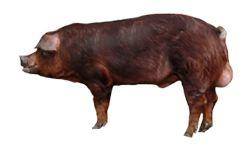 свині породи дюрок