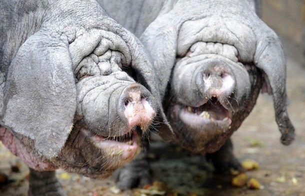 Свині з китайської провінції Meishan