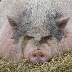 Свині на відгодівлі