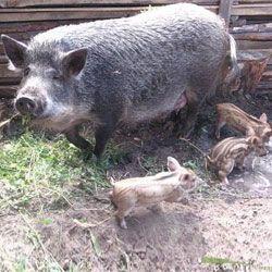 Свиня Мангал з поросятами