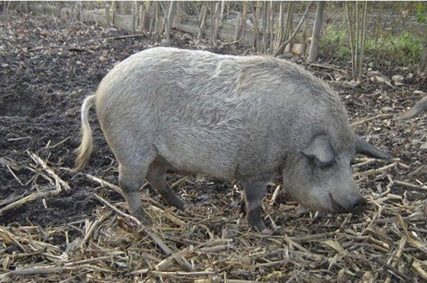 Порода свині Мангал
