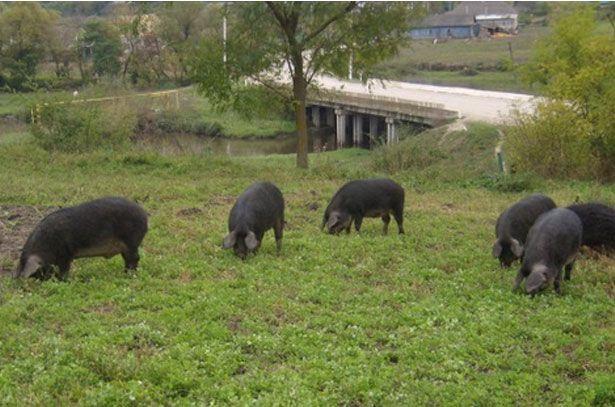 Свині породи Мангал на вигулі