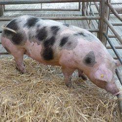 Свиня породи Петрен (П`єтрен)