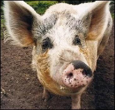 Свиня, яка страждає метеоризмом, стала причиною НП