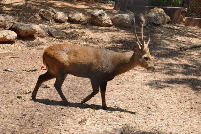 Свинячий олень (Axis porcinus).