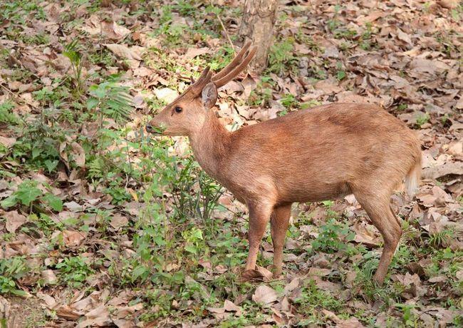 Свинячі олені живуть поодинці, однак самки з Оленята іноді збираються в невеликі стада.