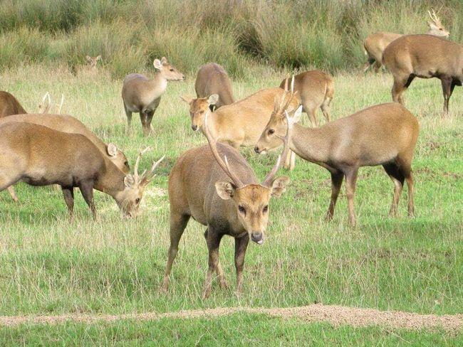 У сезон розмноження характер самців стає агресивним і непередбачуваним.