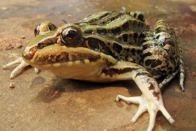 Свистун (Leptodactylidae).