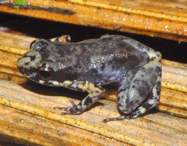 Самки мають гнізда з ікрою неподалік від водойм або на їх поверхні.