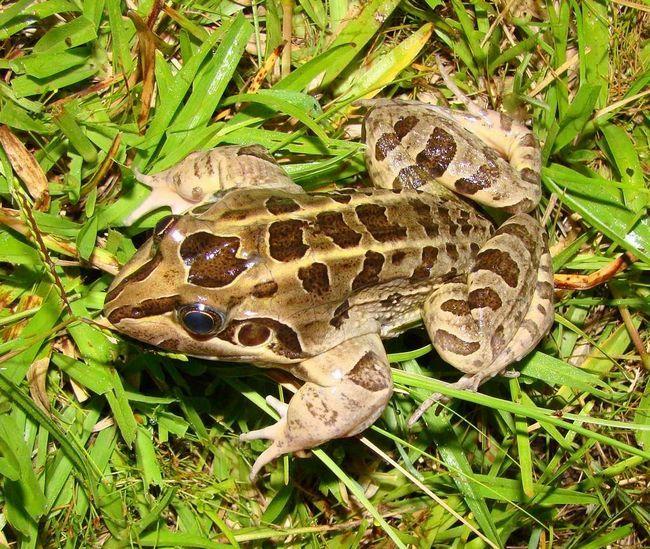 Личинки свистунів дуже стійкі до висушування - вони можуть вижити без води близько 7-ми діб.