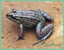 Свістунсухопутний / leptodactylus prognatus