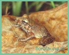 Свістунусатий / leptodactylus mystacinus