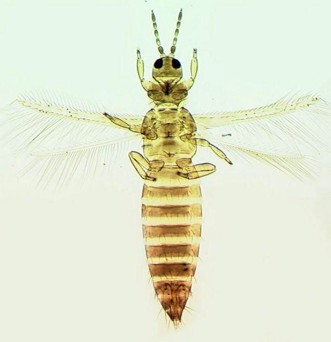 Забарвлення самки мінлива, від світло-жовтого до бурого.