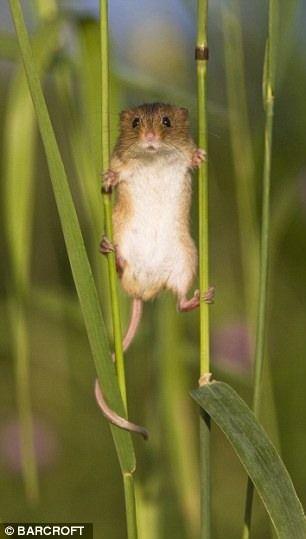 Таємне життя польових мишей