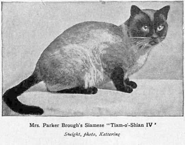 Тайська порода кішок (thai cat)