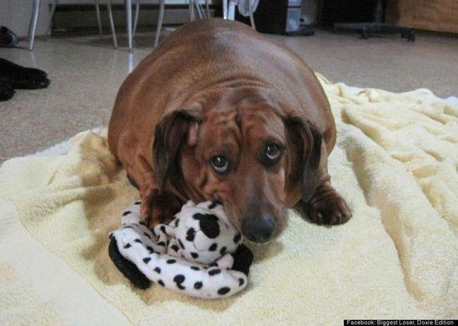 Раніше Обі більше нагадував подушку, ніж собаку (фото: facebook biggest loser)