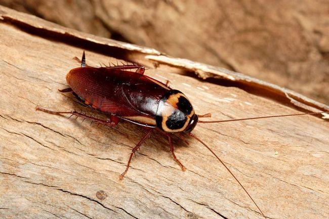 Таргани вважаються найшвидшими комахами в світі, тому гонитва за істотою часто увінчується невдачею.