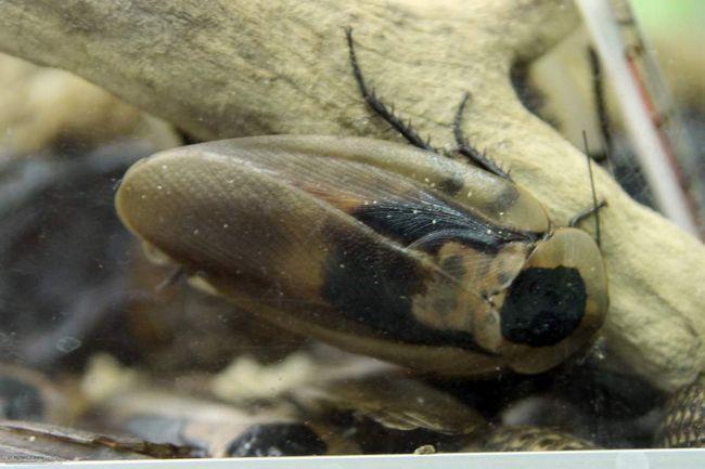 Любителі комах містять великих тарганів в акваріумах.