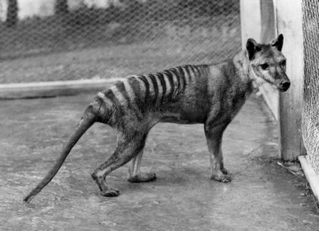Тасманійський тигр (Thylacinus cynocephalus)