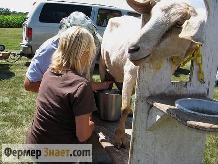 Доїння кози за допомогою станка
