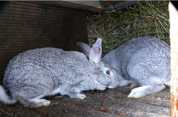 Кролик і кролиця в клітці