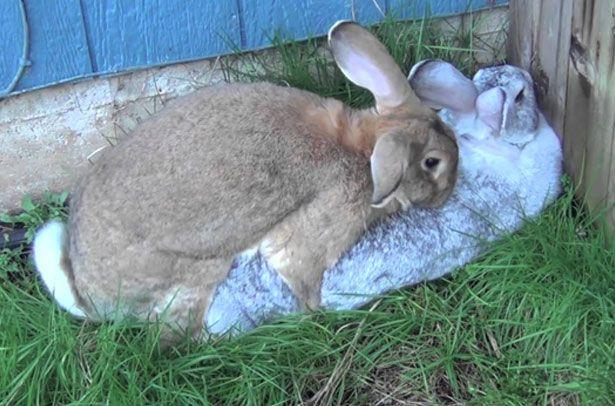 Парування кроликів в домашніх умовах