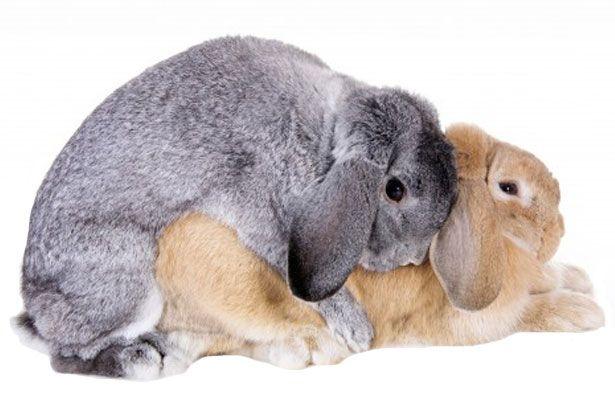 Парування декоративних кроликів