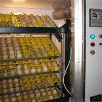 Технологія виробництва інкубаційних яєць
