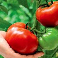 Технологія вирощування томатів