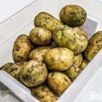Тепловий шок або як і для чого озеленювати насіннєву картоплю?