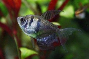 Тернеция - рибка звичайна
