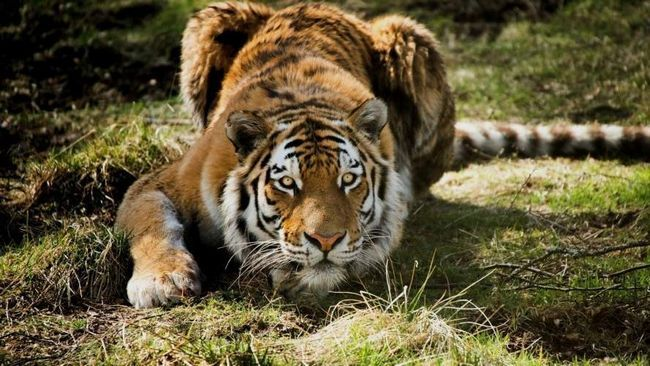 Тигри непомітно підкрадаються до обраної жертви.