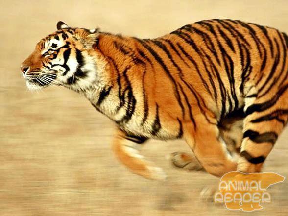 Тигр може розганятися до 60 км / год, але швидко втомлюється, і через 200 м припиняє погоню