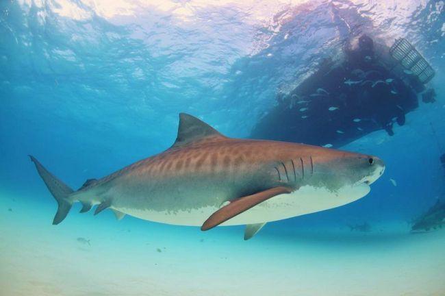 Тигрова акула відкусила ногу гавайському рибалці.