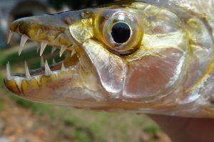 Тигрова риба голіаф
