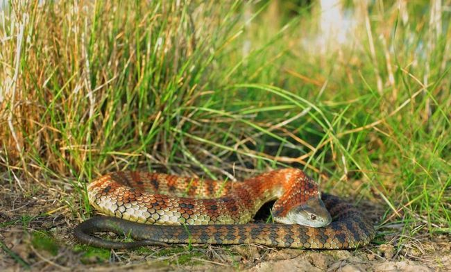 Тигрова змія (Notechis scutatus).