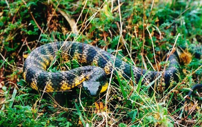 Тигрові змії широко поширені по австралійському континенту внаслідок того, що самки наводять дуже багато дитинчат.