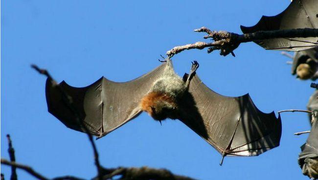 Важкі крила допомагають кажанам приземлятися догори дригом