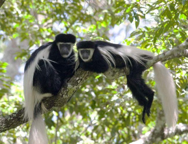 Гвереци ідеально пристосовані для того, щоб розгойдуватися і стрибати по верхівках дерев.