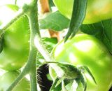 Томати і картопля - м`ясоїдні рослини